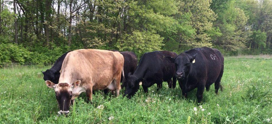 Grass Fed Cows Slider