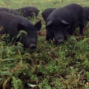 100% Pastured Guinea Pork